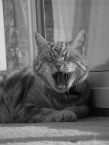 Cat_Yawning